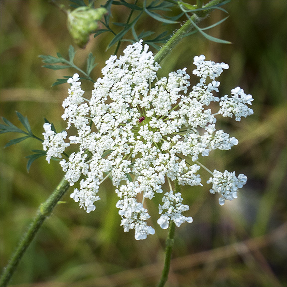 Wildflowers of Old Fields: Queen Anne's Lace on the Woods and Waters Trail (23 August 2013).