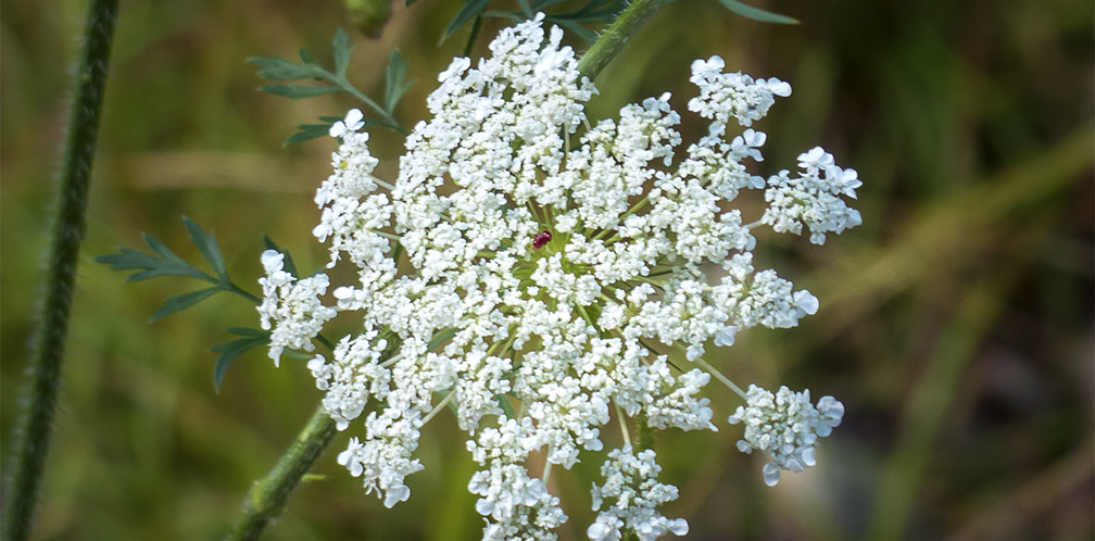 Wildflowers of the Adirondacks: Queen Anne's Lace (Daucus carota) on the Woods and Waters Trail at the Paul Smiths VIC (23 August 2013).
