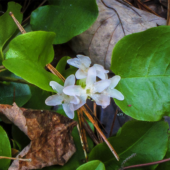 Wildflowers of the Adirondack Park: Trailing Arbutus on the Heron Marsh Trail (12 May 2013).