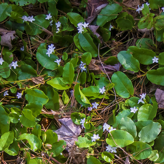 Wildflowers of the Adirondack Park: Trailing Arbutus on the Heron Marsh Trail (8 May 2013).