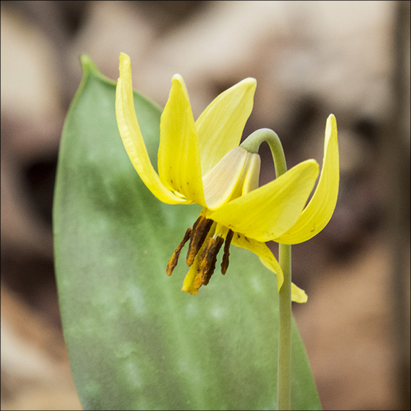 Adirondack Wildflowers: Trout Lily at the Paul Smiths VIC (9 May 2015).