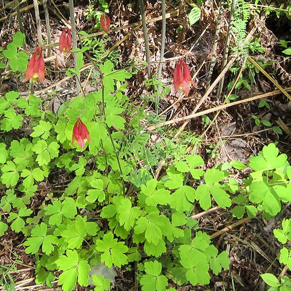 Adirondack Wildflowers Wild Columbine Aquilegia Canadensis