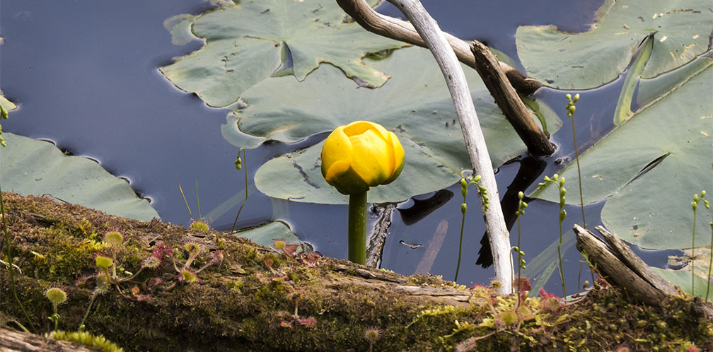Adirondack wildflowers yellow pond lily nuphar variegata wetland wildflowers of the adirondack park yellow pond lily on the edge of simkins pond mightylinksfo