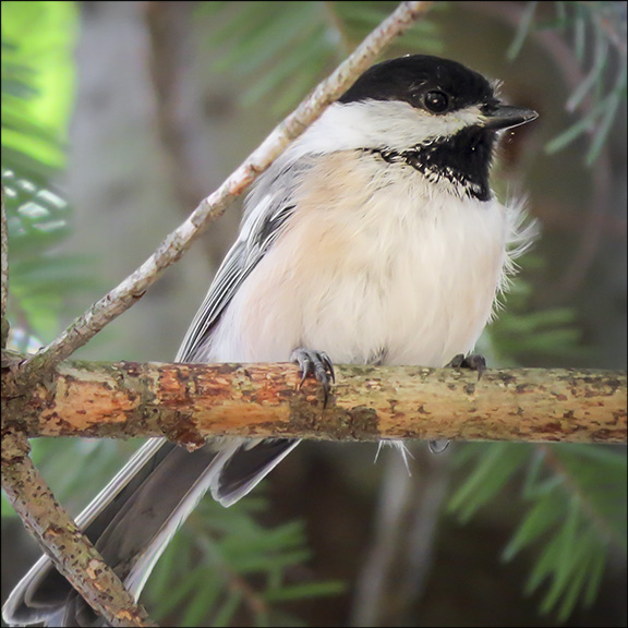 Birds of the Adirondacks: Black-capped Chickadee on the Heron Marsh Trail at the Paul Smiths VIC (2 September 2014)