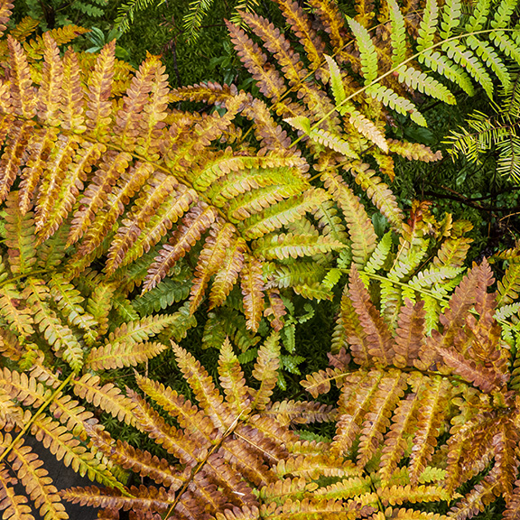 Ferns of the Adirondack Park: Cinnamon Ferns on the Boreal Life Trail at the Paul Smiths VIC (14 September 2013).
