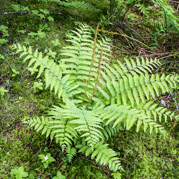 Ferns of the Adirondacks: Cinnamon fern on the Boreal Life Trail (15 June 2013).
