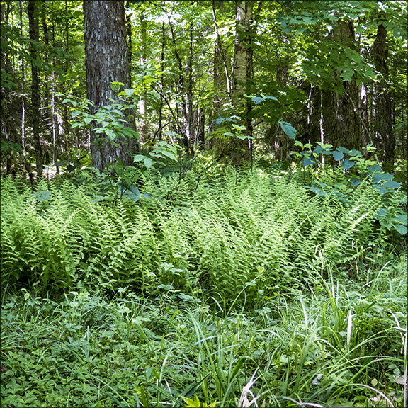Ferns of the Adirondacks: Hay-scented fern on the Jenkins Mountain Road (22 June 2014).