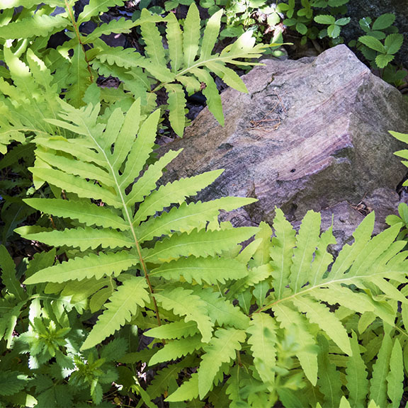 Ferns of the Adirondack Mountains: Sensitive Fern at the Paul Smiths VIC (22 June 2014)