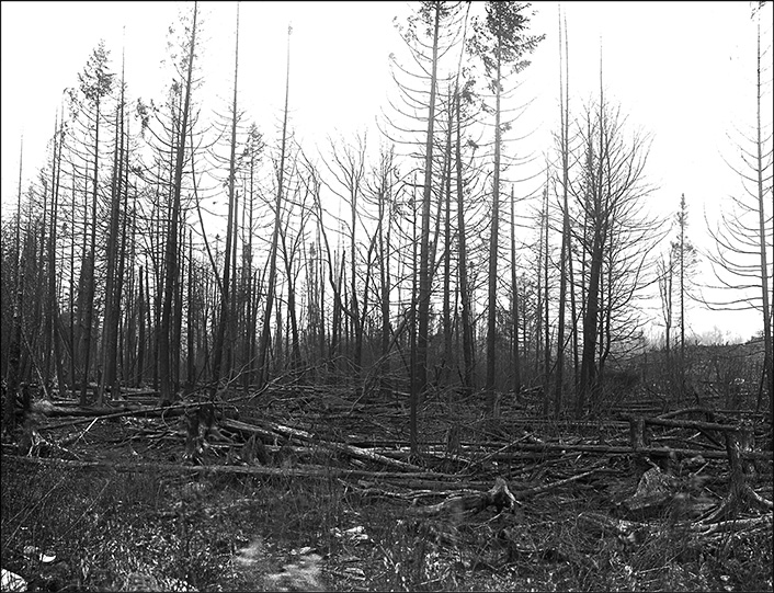 Adirondack Forest Fires: View of a forest in the aftermath of a fire on Saint Regis Mountain, 1908. New York State Archives, New York (State). Conservation Dept.