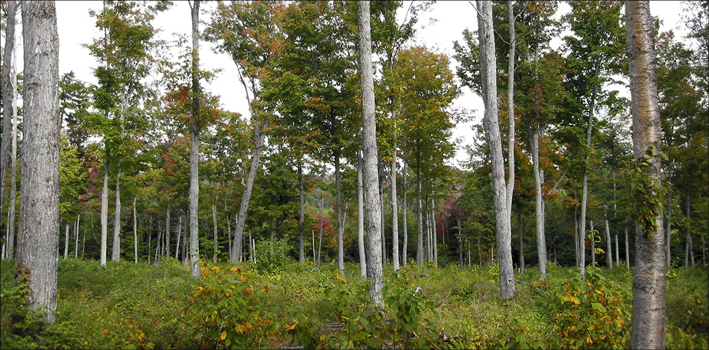 Ecological Succession in the Adirondacks: Forest recovery five years after logging on the Forest Ecosystem Research and Demonstration Area (FERDA) at the Paul Smiths VIC (20 September 2004).