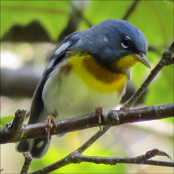 Birds of the Adirondacks: Northern Parula on the Logger's Loop Trail at the Paul Smiths VIC (20 June 2015)