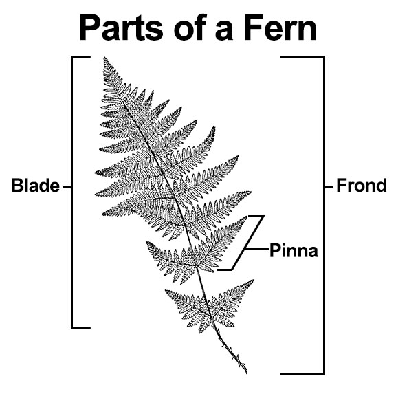 Parts of a fern: Pinna