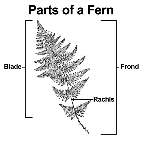 Parts of a fern: Rachis