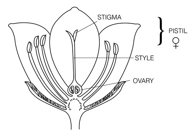 Diagram of pistil