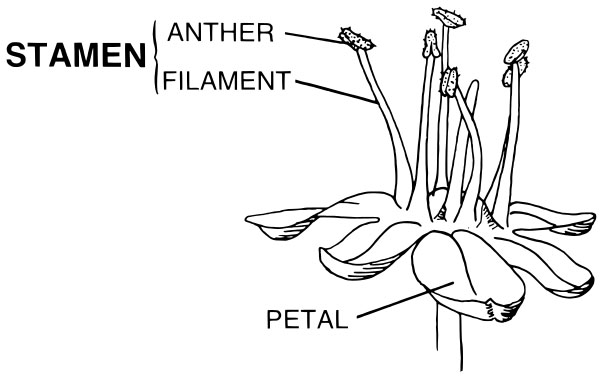 Diagram of flower stamen