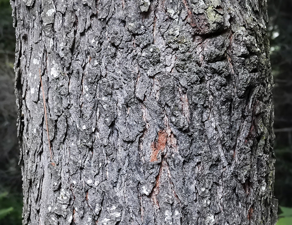 Trees Of The Adirondacks Black Cherry Prunus Serotina