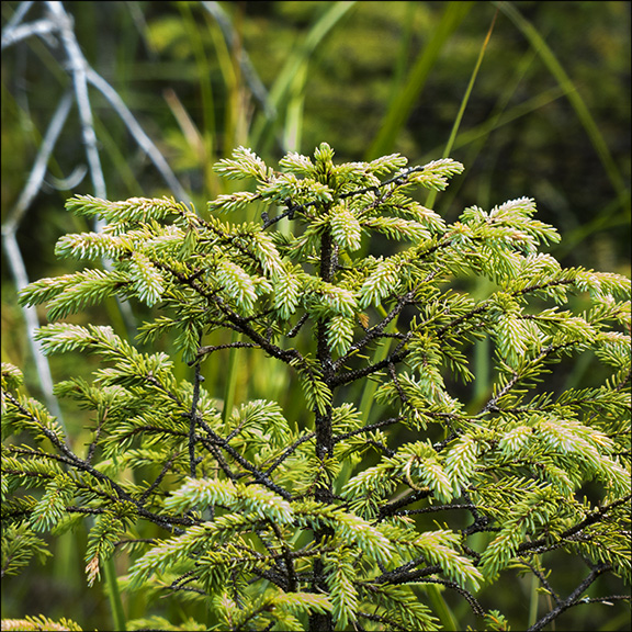 Trees of the Adirondack Wetlands: Black Spruce at the Paul Smiths VIC (2 August 2013)