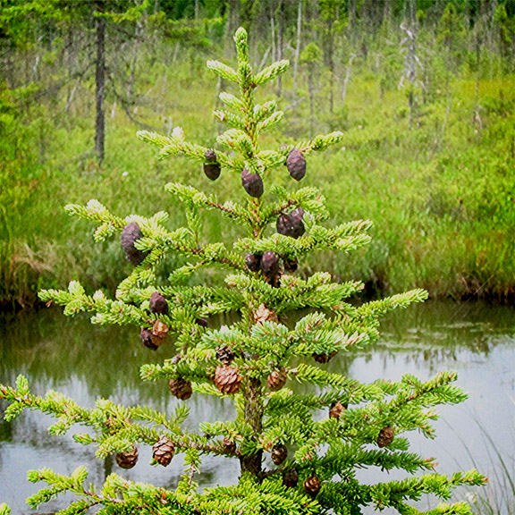 Trees of the Adirondack Park:  Black Spruce on Barnum Bog at the Paul Smiths VIC (28 July 2012).