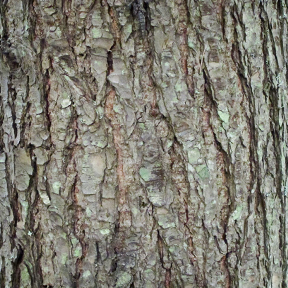 Trees of the Adirondacks: Eastern Hemlock | Tsuga canadensis
