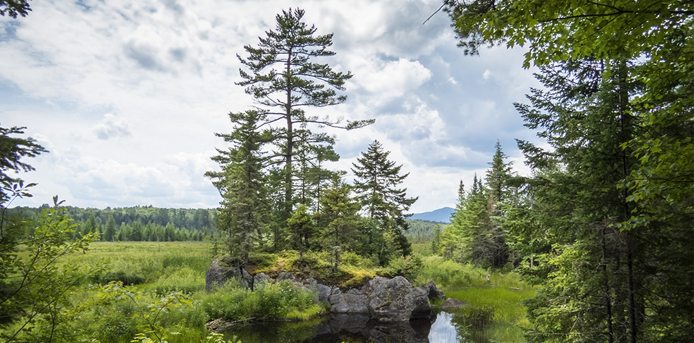 Trees of the Adirondacks: Eastern White Pine growing on a bedrock outcrop on Heron Marsh (25 July 2015).