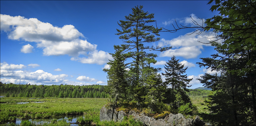 Trees of the Adirondacks: Eastern White Pine on the Barnum Brook Trail (31 May 2014)