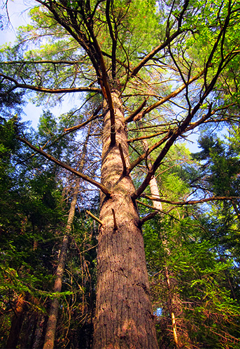 Trees of the Adirondack Park:  Eastern White Pine on the Heron Marsh Trail.