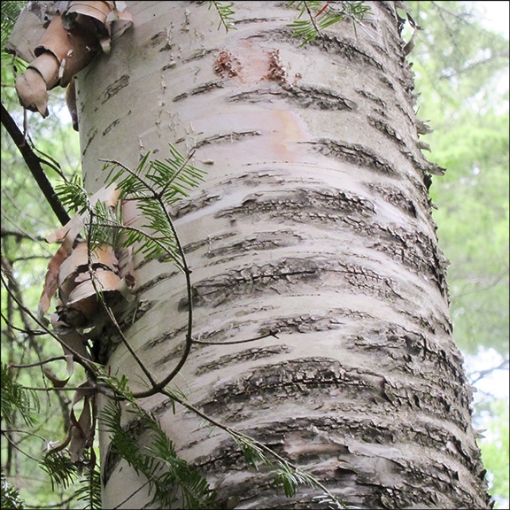 Trees Of The Adirondacks Distinctive Creamy White Bark Paper Birch Ls Off