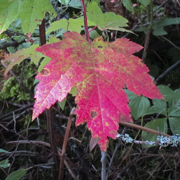 Trees of the Adirondack Park:  Red Maple on the Barnum Brook Trail (19 September 2012).