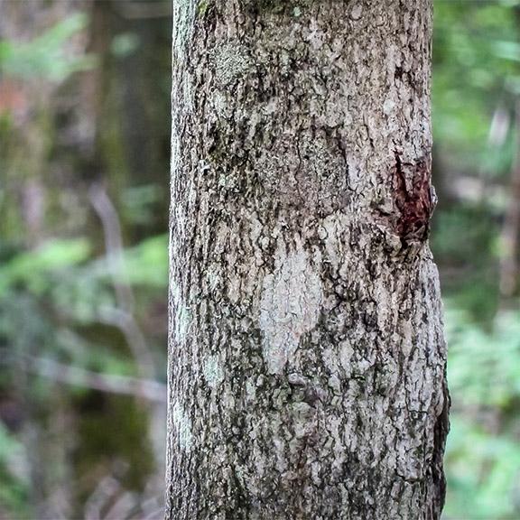 Hairy sap trees