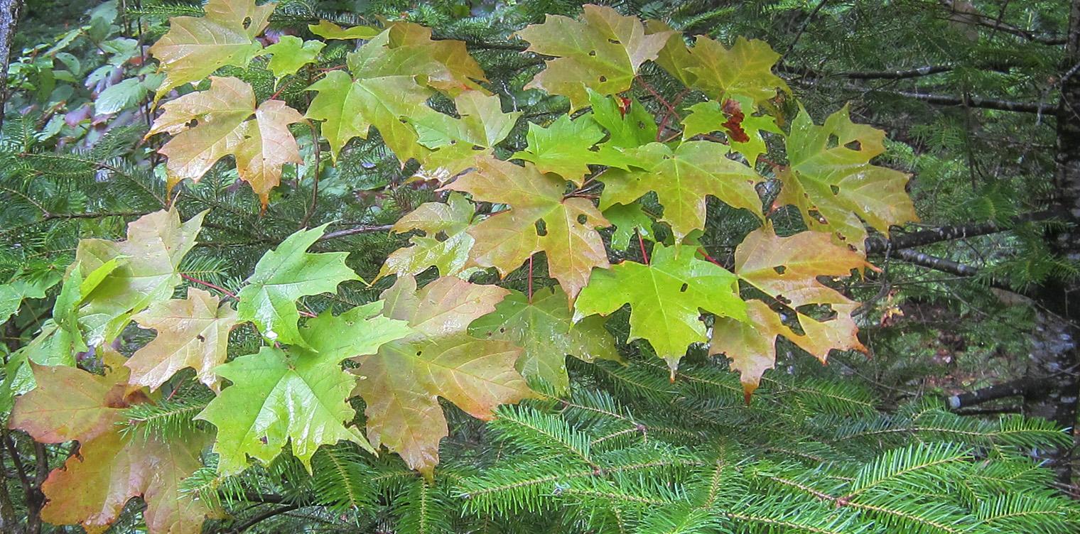 Trees Of The Adirondacks Sugar Maple Acer Saccharum