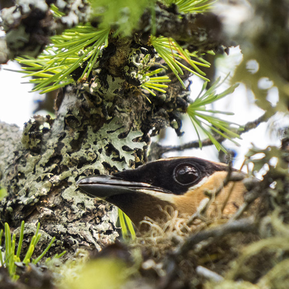 Trees of the Adirondacks: Cedar Waxwing on her nest in a Tamarack on Barnum Bog at the VIC (19 July 2014).