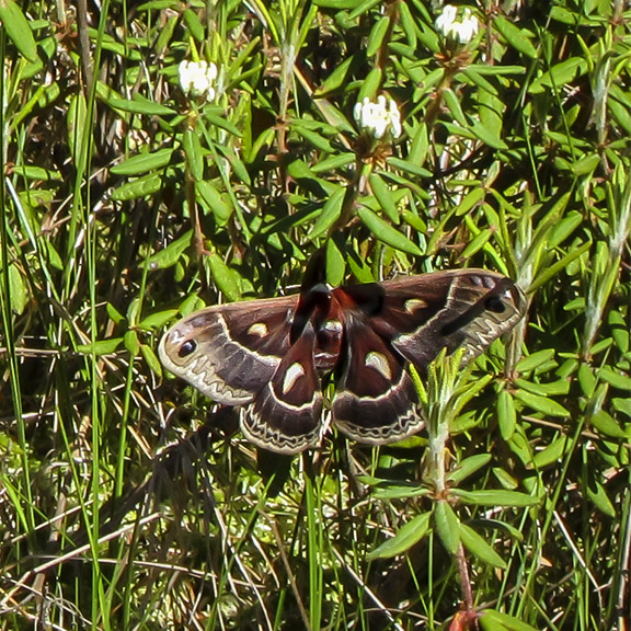 Trees of the Adirondacks: Columbia Silkmoth on Barnum Bog (3 June 2011).
