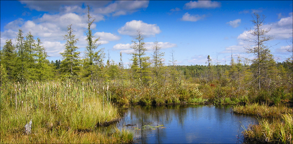 Trees of the Adirondacks: Tamaracks and Black Spruce on Heron Marsh (19 September 2004).